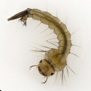 fish eat mosquito larvae